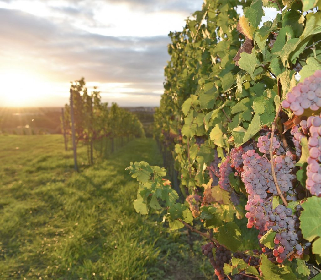 bergstrasse_roter riesling_Lese_2019_Hessische Bergstrasse_Antes_Rebveredlung